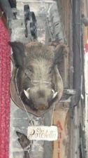 Siena boar's head